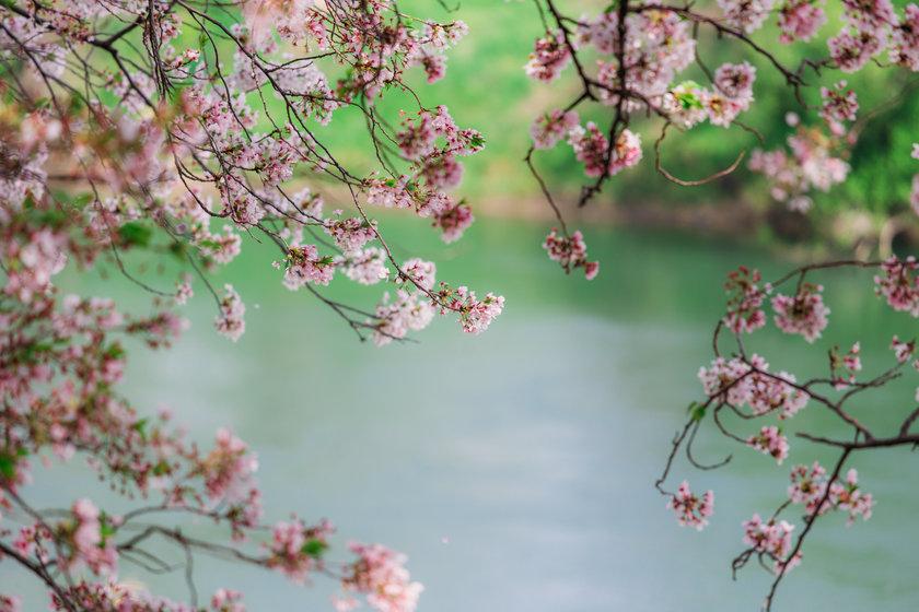 SweetEscape Tips : Sakura Secrets You Need to Know